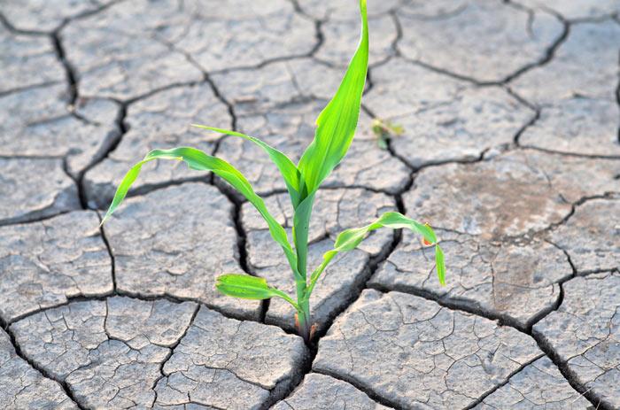 Уксус помогает растениям бороться с засухой