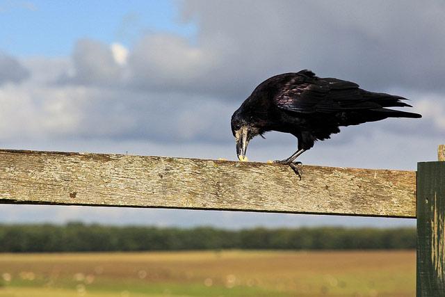 Вороны умеют планировать