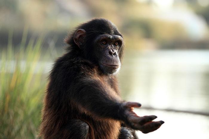 Почему шимпанзе сильнее людей