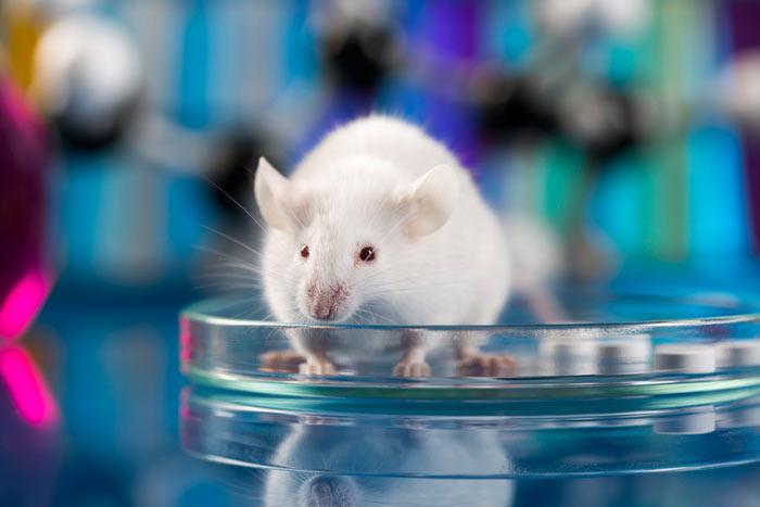 Чем люди отличается от мышей?