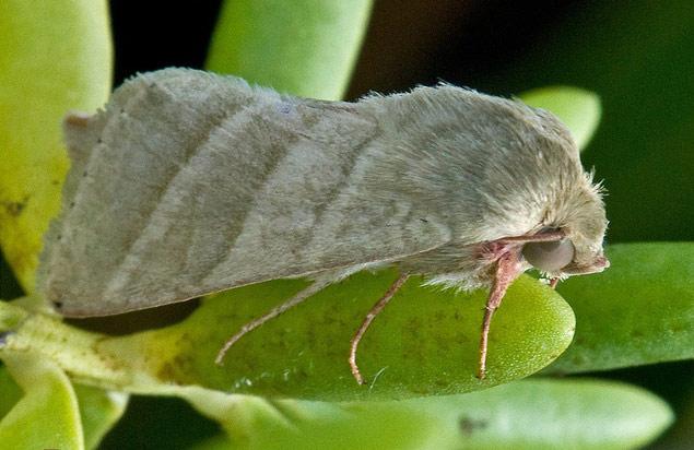 Непривлекательные бабочки пользуются чужими «духами»