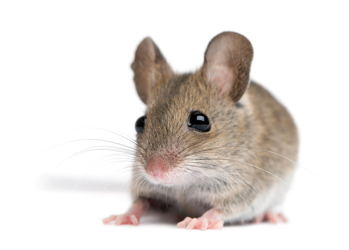 Мыши заражают аутизмом друг друга