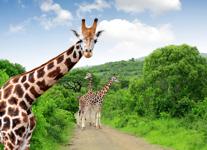 Почему у жирафа длинная шея