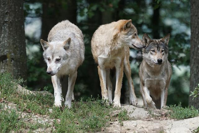 Волчий коллектив