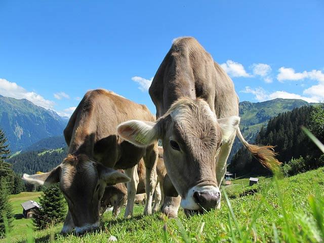 Парниковые коровы