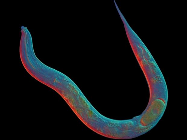 Червь об одной хромосоме