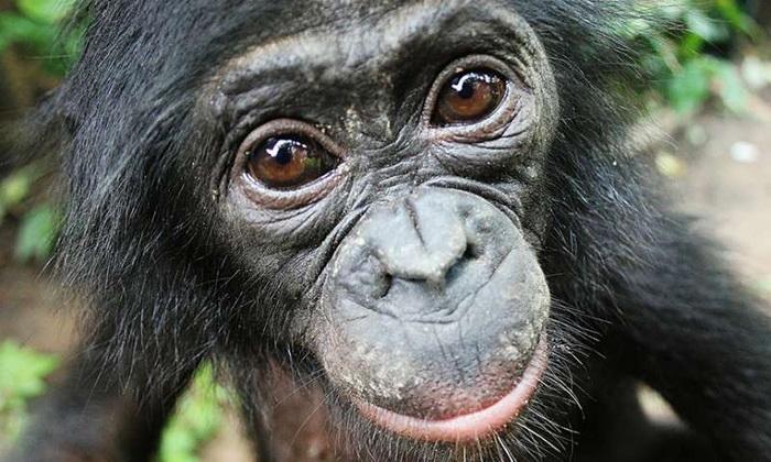 Шимпанзе бонобо помогают незнакомцам