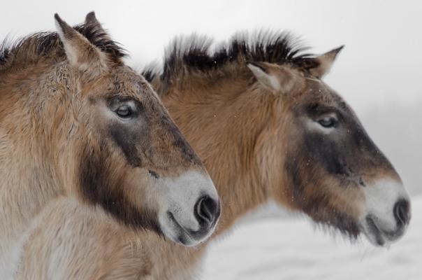 Лошади Пржевальского из диких превратились в одичавших