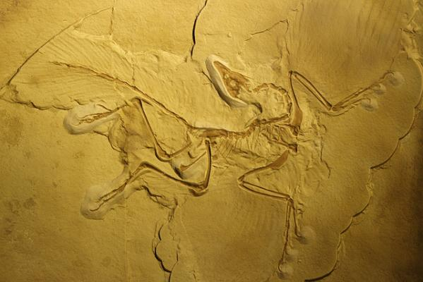 Археоптерикс в полете махал крыльями