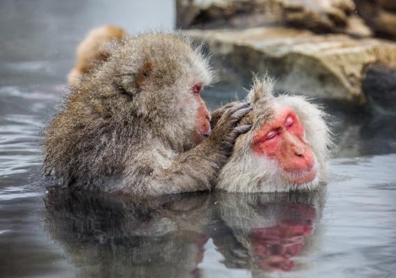 Японские макаки успокаивают нервы в горячей ванне