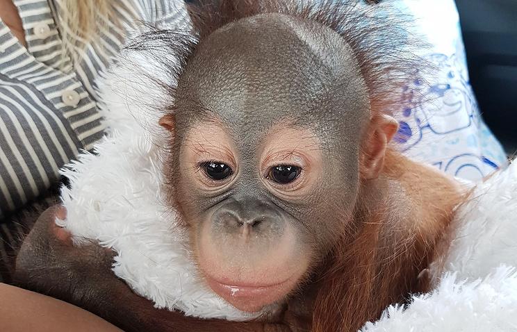 В Московском зоопарке появился детеныш борнейского орангутана
