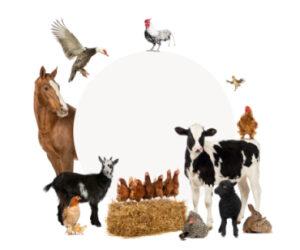 Разведение коров, свиней и кур на дачном участке: поставлена ли точка в этом вопросе?